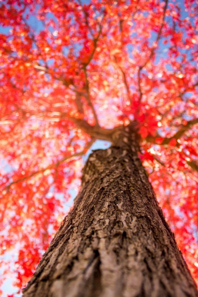 tree, red, fall