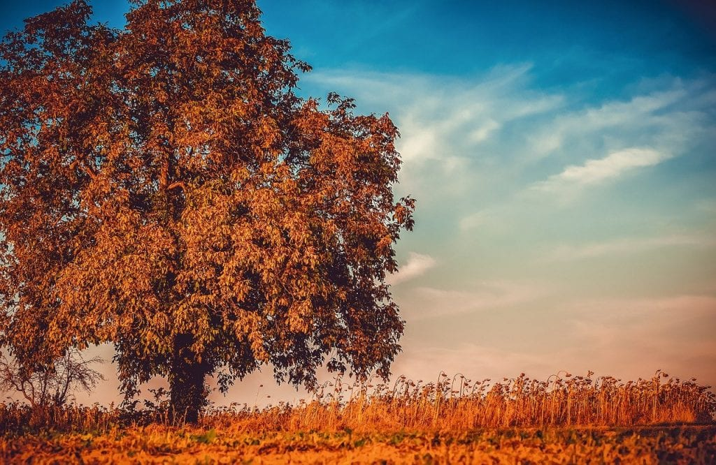 walnut, tree, branches
