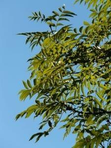 leaves, ash, tree