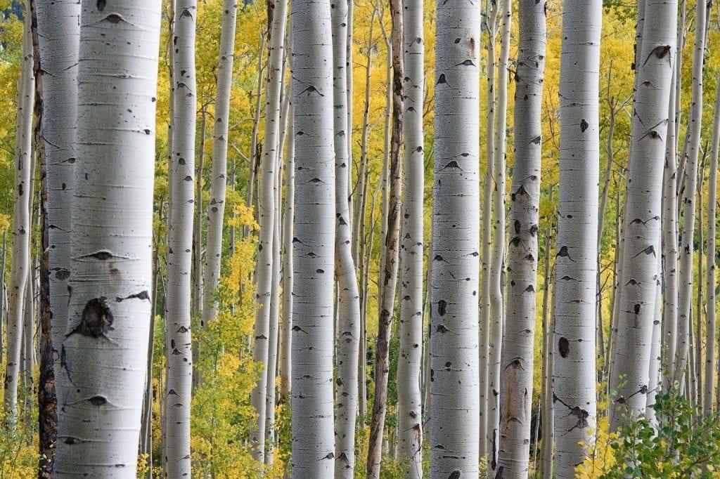 trees, birch, white